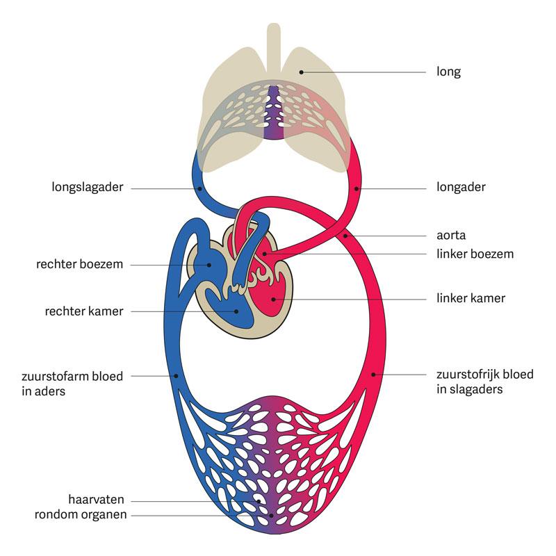 organen rechter kant